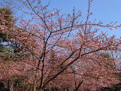 遠目から見ても河津桜の蕾が色付いているのがわかります。