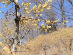 山頂の臘梅園には西園と東園があり、日当たりのよい西臘梅園から開花が始まり見頃となる。 年によっては12月末頃から開花することもあるそうだが今年は例年よりも若干遅めで、1月上旬に咲き始め、2月10日前後に西園・東園共に見頃となったそうだ。