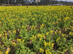 山から下って、福ふくの里へ。  菜の花。 袋いっぱい摘み放題で100円。
