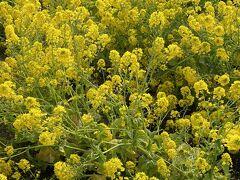 バスから見えた菜の花畑までお散歩。 2月とは思えない暖かさ。 菜の花は見頃でとてもきれいでした。 マスク越しに匂いも満喫。