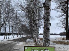 十勝牧場 白樺並木を見て