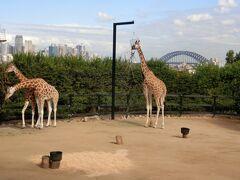 タロンガ動物園です。キリンの奥にハーバーブリッジに見れるのは最高だった
