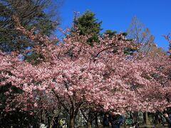 林試の森公園の河津桜が満開の頃と思われたので行って来ました