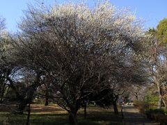 すると梅が咲いていた こちらは国分寺公園
