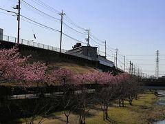 多摩湖 遊歩道の近くの 空堀川沿いの河津桜がきれいに咲いていた