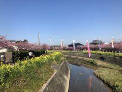 免々田川 菜の花・桜祭り  鯉のぼり