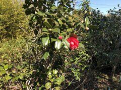 つばき公園に到着  椿の品種が豊富です  赤い椿