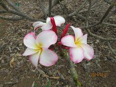 お気に入りのプルメリア 旬ではありませんが少し咲いていました。