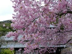 さあ、桜散策へ もうまさにベストスポットど真ん中だからどこも徒歩圏内 お宿から約10分で 河津桜原木に到着!