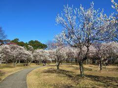 梅林は0.5haほどの広さがあり、約44種類、520本の紅白の梅を見ることができます