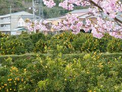 チェックアウト後は再び 河津桜を散策