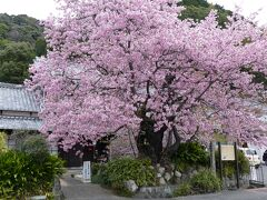 河津桜原木までお散歩がてら散策 圧巻の見ごたえです  ホテルからのアクセス良し