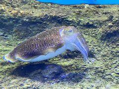 美ら海水族館に入ります。こちらの展示は見事ですねえ。水槽の数はすごいものです。優雅に泳ぐコブシメもいました。