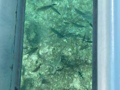 おじちゃんがえさをまくと船の下にたくさん魚が集まります。