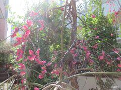 亀戸梅屋敷の梅。