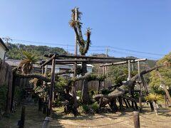 大ソテツ 昭和11年に天然記念物に 高いところは11mだそうです こんなにでかいのは見たことないわ