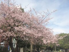 上野公園の入口では早咲きの桜が満開です!! 皆さんスマホで撮影☆彡