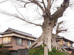 野村一里塚  この木はデカかった。