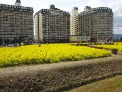 一旦ホテルへ戻り、ラウンジで休憩してからホテルから歩いて菜の花畑に行きました。