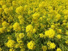 菜の花は結構臭いがきついですが、さわやかな春の香です。