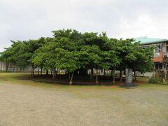日本一のガジュマルと言われています。校庭にすごいな。 右手の校舎では子ども達が勉強中でした。