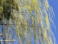 三浦坂の柳の芽吹きが眩しいほどです♪  「柳やなよなよ風しだい♪」  ホントですね(笑)