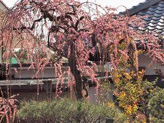 谷中/妙行寺の枝垂れ梅はちょうど見頃です♪