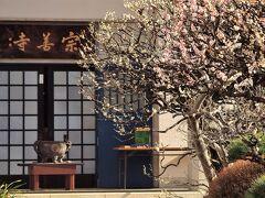谷中/宗善寺のピンクと白の梅は、すでに満開を過ぎた感があります。