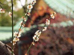 根津神社の白梅はすでに終盤・・・