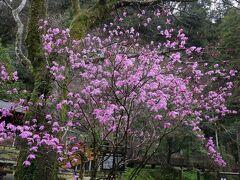 【おのころ池】 おのころ池のところに、春を告げる花、ミツバツツジが咲いていました。