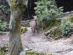 さらに上のうぐいす歩道へ。  鹿に遭遇!
