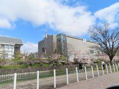 京都国立近代美術館の前にも  きれいな桜並木