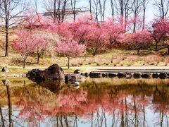 花より団子?ノンノンノン! 両手に花が私流(^◇^)  花も団子もいただきま~す  花トップバッターは  荻窪公園のオカメサクラ♪ リフレクションでワクワクするね~