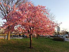 汐入公園を通ります。 これは別の日で河津桜を撮りに行った日でしたが、 この日は桜の開花宣言も先日あり、ソメイヨシノも3部咲き位だったと思います。