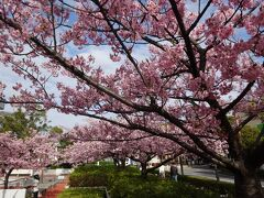 マリンピア前の河津桜に見送られ、診察に出発です。