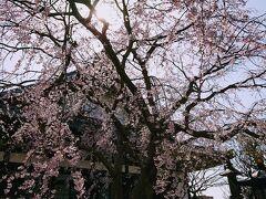 桜の時期はちょっと早いけど、本覚寺の垂れ桜は咲いているとのインスタ情報を見てやってきました。