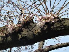 北浦和公園の桜も咲き始めたのを見ながら、ポンポコリンのお腹を抱えて駅に向かいました