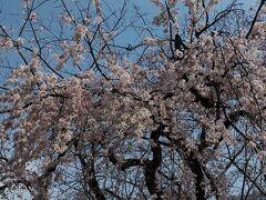 増上寺の枝垂桜