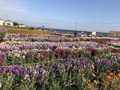 昼食後、館山フラワ-パ-ク付近から菜の花を眺め、房総フラワ-ラインをひた走り、白間津の花畑へやってきました。