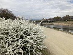 12時少し前に着いたので、鴨川の桜の様子をチェックしに来たよ。 ユキヤナギが満開☆