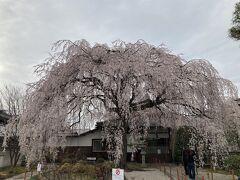 なんとまあ、立派な枝垂れ桜が!(表紙の写真は加工しました。あまりにも暗いので)