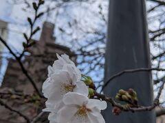 お彼岸の土曜日、いよいよ桜も咲きました!