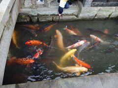途中のお堀にあまりいなくてちょっと心配だった津和野のメタボ鯉さんがたを見つけて安心したのは、