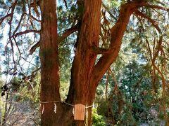 ごつごつした岩の登山道をしばらく進むとこの夫婦杉があります。 樹齢600年の古木で夫婦と呼ばれていますが、片方が二股に分かれていて二本でなく三本につながったご神木です。