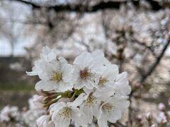 桜が咲いたらしい・・・と聞きつけて朝の時間帯に散歩に出かけました。 車を停めて歩き出します。  去年の春のこの辺りを歩いた旅行記(桜後(笑))  https://4travel.jp/travelogue/11616890