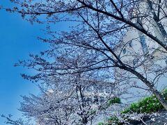 今日も朝活&朝ランスタート! 慶應義塾大学 日吉キャンパスでは卒業式? 袴女子などが桜の下に集っていました♪