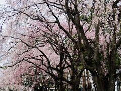 孫桜がつぶやいた 円山公園のおじい様…