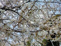 桜がきれいでむしろラッキー