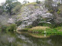 湧水池とソメイヨシノ。  旅行の計画時には、行く先々で桜が見ごろとは全くの想定外でした。