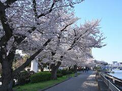 ●言問橋  「牛嶋神社」の境内からさらに進み、隅田川に架かる「言問橋」のたもとまでやってくると、川岸に沿うように桜並木が続いています♪ こちらは「墨堤の桜」と呼ばれ、江戸時代に8代将軍・徳川吉宗が隅田川の堤に桜を植えたのが始まりとされています。